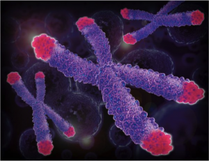 The microscopic photograph above portrays eukaryotic chromosomes in the nucleus. The hot pink regions at the end of these chromosomes are the telomeres.