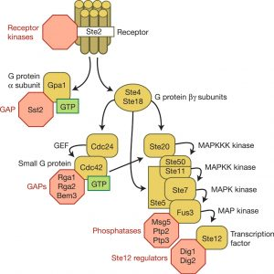 Figure one explains the relationship between differenct components of yeast mating pathway to show the chain of command