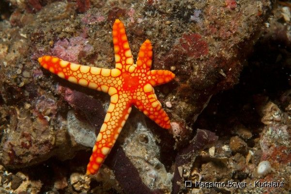 Picture of a bright orange and yellow starfish with legs in the process of regeneration