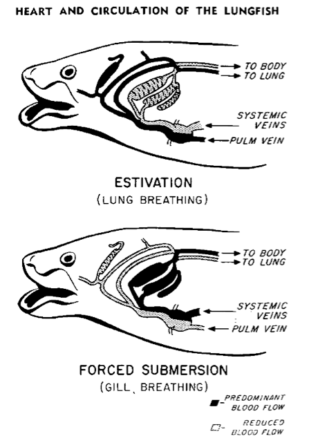 Heart and circulation of the lungfish - when estivating, its blood predominantly flows through the lungs; when underwater, its blood predominantly flows through the gills instead.