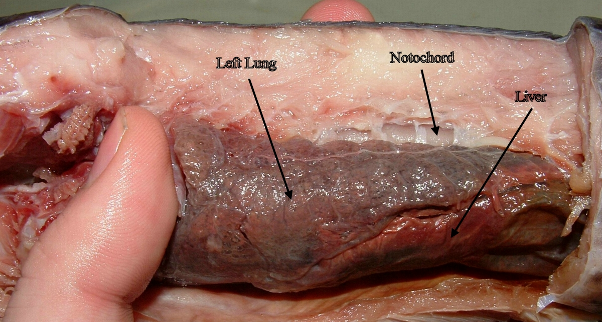 The dissected inside of a lungfish, showing its left lung, notochord, and liver.